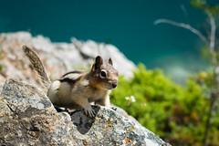 Curiosity (rskura) Tags: animals squirrels banff