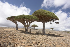 yem_1460 (Peter Hessel) Tags: yemen socotra soqotra jemen dragonbloodtree dracaenacinnabari diksamplateau