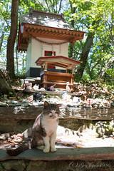 (GenJapan1986) Tags: animal japan cat island shrine  miyagi    2015     tashirojima  nikond610