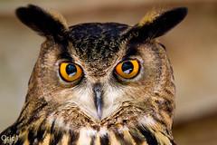 Hibou (Oric1) Tags: france hibou lot oric1 rocamadour bird captivité oiseau tamron sp 150600mm f563 di vc usd a011 rocherdesaigles moyenduc flickrbronzetrophygroup avian 7d eos canon tamronsp150600mmf563divcusd jeanlucmolle labous ornithologie ornithology watching