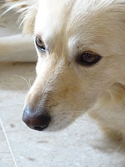 Pongo .... (Deneb56) Tags: dog dogs cane closeup sweet occhi sguardo dolce primopiano pongo