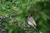 Bulbul e Kashmir (NotMicroButSoft (Fallen in Love with Ghizar, GB)) Tags: bird kashmir ajk bulbul barries yellowventedbulbul mehmoodgali avianfauna