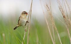 A87A0027 Sedge warbler (steve.ray50) Tags: grove 2015