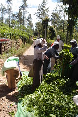 Weighing of tea (Carrascal Girl) Tags: workers women tea harvest ella plantation srilanka ceylon teagarden weighing teaplantation teaestate pickers womenworkers teapickers ceylontea afterharvest plantationworkers plantationwomen