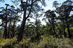 20150720-07-Sunlit trees (Roger T Wong) Tags: trees winter trek outdoors nationalpark bush path walk australia hike tasmania np bushwalk scrub tramp 2015 tasmanpeninsula capepillar sony1635 rogertwong sel1635z sonya7ii sonyilce7m2 sonyalpha7ii sonyfe1635mmf4zaosscarlzeissvariotessart