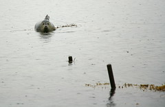 Posing in the Rain (ragnaolof) Tags: sea nature rain animal mammal iceland seal marinelife oceanic strandir