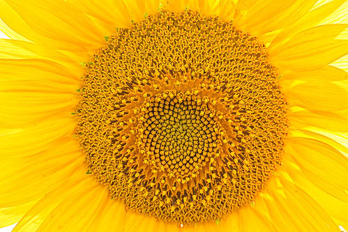 """Sunflowers pattern • <a style=""""font-size:0.8em;"""" href=""""http://www.flickr.com/photos/22289452@N07/20136779440/"""" target=""""_blank"""">View on Flickr</a>"""
