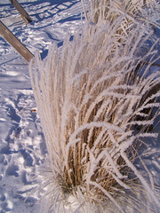 Icicle Grass (J Swanstrom (Check out my albums)) Tags: winter snow cold ice grass bush frost kodak south dakota dx7590 hoar jswanstromphotography
