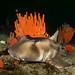 Crested hornshark - Heterodontus galeatus #marineexplorer