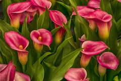 "The Arum Sea (MrBlueSky*) Tags: ""flower"" ""flowers"" ""plants"" ""london"" ""gardening"" ""horticulture"" ""gardens"" ""garden"" ""plant"" ""outdoor"" nature arum lilly lillies green red wild plant blossom pentax pentaxk3 pentaxart aficionados chelseaflowershow swirl pentaxlife colorfullaward fantasticflower"