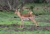 Impala going Toilet (marccrowther) Tags: nikon d7100 nikond7100 tamron 150600mm tamron150600 tamron150600mmf563 tamronsp150600mmf563divcusd kruger krugernationalpark mpumalanga southafrica safari impala toilet peeing relieving animal wildanimal