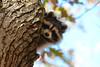 Raccoon (av8s) Tags: raccoon mammal nature wildlife photography nikon d7100 sigma 120400mm nescopeckstatepark pennsylvania pa