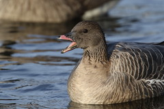 Pink-footed Goose (kidbirder) Tags: