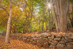 In The Autumn Garden || MOUNT WILSON || BLUE MOUNTAINS (rhyspope) Tags: australia aussie nsw new south wales mt mount wilson autumn fall garden tree foliage yellow fence stone rock wall rhys pope rhyspope canon 5d mkii leaves