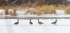 River dance (prairiegirrl) Tags: geese river ice snow winter