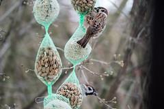 Feldsperlinge  an der Futterkette - Tree sparrows sitting on the feeder chain (riesebusch) Tags: berlin garten hornetweg11 marzahn vögel