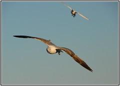 On final approach (petrk747) Tags: marseille france gull seagull seaport port sky bluesky heaven bird fauna animal animals outdoor sea mediterraneansea