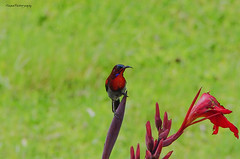 Vigors's Sunbird (@ S h a s h p h o t o g r a p h y) Tags: vigorsssunbird sunbird crimsonsunbird westerncrimsonsunbird zoologistnavigors smallbirds pentaxk5 shashphotography