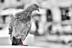 Bird (PokemonaDeChroma) Tags: columbalivia pigeonbisset pigeon columbidea oiseau balcon balcony vernazza italy bird