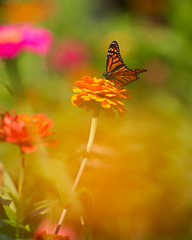 Monarch Bokeh... (zoomclic) Tags: canon closeup colorful flower foliage flowers bokeh butterfly red green garden orange outdoors yellow pink plant nature dof dreamy rose zinnia soft summer serene peaceful 7d ef200mmf28lusm zoomclicphotography