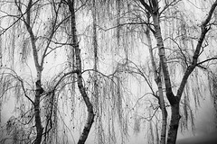 Silver Birches in the Fog (PeteZab) Tags: four 4 silverbirch tree baum arbre fog mist winter seson nature peterzabulis bw blackandwhite monochrome