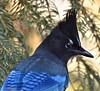 Steller's Jay on the year's last day. (ebeckes) Tags: stellersjay corvid jay bird