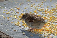 Tailless White-throated Sparrow (East Norriton) (stinkenroboter) Tags: whitethroatedsparrow zonotrichiaalbicollis bird eastnorriton tailless