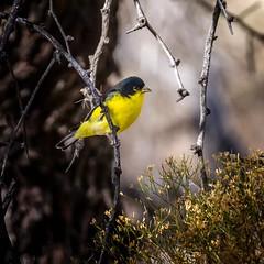 Color Guard (Portraying Life, LLC) Tags: unitedstates bird ventanacanyonwash closecrop handheld nativelighting