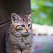 Wildcat cub