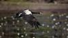 Magpie Geese (Anseranas semipalmata) (Arturo Nahum) Tags: aves australia birdwatcher bird birds pajaros wildlife wild nature animal magpiegeese anseranassemipalmata
