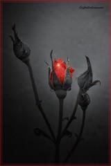 RED (lefotodiannae) Tags: lefotodiannae rosa rossa red flower biancoenero selettivo bianconeroeselettivo natura fiore gocce