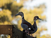 What a pair! (Letua) Tags: dos two pair pareja dof animales patos aves birds ducks
