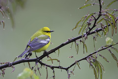 Blue-winged Warbler (www.studebakerstudio.com) Tags: bluewinged warbler bluewingedwarbler bird songbird wildlife nature studebaker redbud shawnee ohio