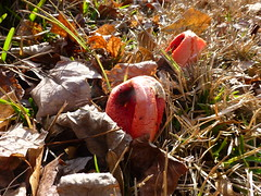 Stinkhorn Fungi (mlstafford) Tags: stinkhorn fungi orange coral
