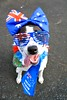 DSC_0004-1 (ScootaCoota Photography) Tags: animal pet dog border collie labrador rescue adopt dont shop outdoors play park australia day oz aussie perth
