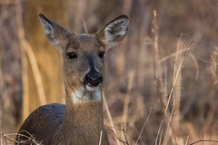 2549 (Eric Wengert Photography) Tags: deer whitetaileddeer