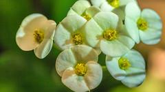 Euphorbia milii (Renate Bomm) Tags: 2017 canoneos6d ef100mmf2 8 macro project365 renatebomm christusdorn weis white dornen dornenkrone euphorbiamilii golden flickrunitedaward flora flores blume zimmerpflanze makro