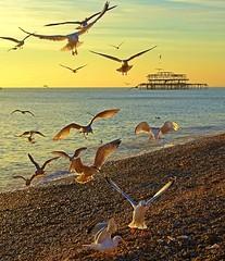Landing (baxter.ad) Tags: birds seagulls brighton beach love life west pier sunset dusk sea horizon east sussex england uk