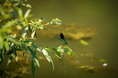 Sávos szitakötő (Calopteryx splendens) (jetiahegyen) Tags: tiszató rovar szitakötő insect kirándulás tour tanösvény túra túrázás hiking
