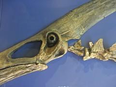 Pterosaur looking at you (rasputina2) Tags: naturalhistorymuseum nhm fossil pterosaur pteranodonlongiceps
