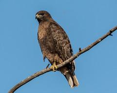 Red-tailed Hawk (Rufous Morph) (Becky Matsubara) Tags: bird birds hawk raptor redtailedhawk sanjoaquinrivernationalwildlifearea buteo buteojamaicensis birdofprey rufousmorph