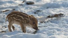 Frischling im Schnee (hellrac3r) Tags: wildpark poing bavaria germany animals nikon180mmf28ed d750 tiere outdoor tier wildschwein frischling säugetier