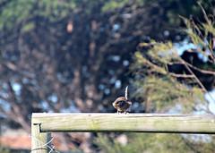 2017 Sydney: Botany Bay #21 (dominotic) Tags: sydney nsw australia newsouthwales 2017 bird botanybay beach brightonlesands ladyrobinsonsbeach