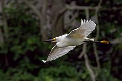 Snowy Egret (btcarr1970) Tags: birds wildlife birding longislandny snowyegret bif audubon feathered wildanimals wildlifephotography avianphotography longislandwildlife canon7dmarkii tamronsp150600mmf563divcusd