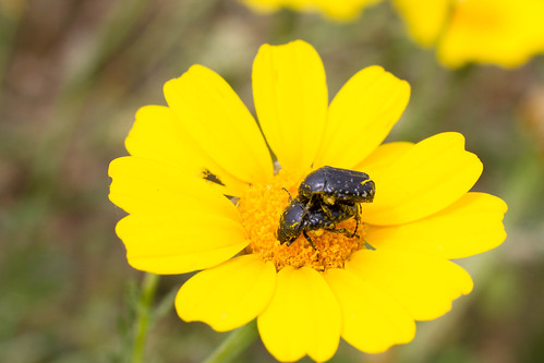 White spotted rose-beetle