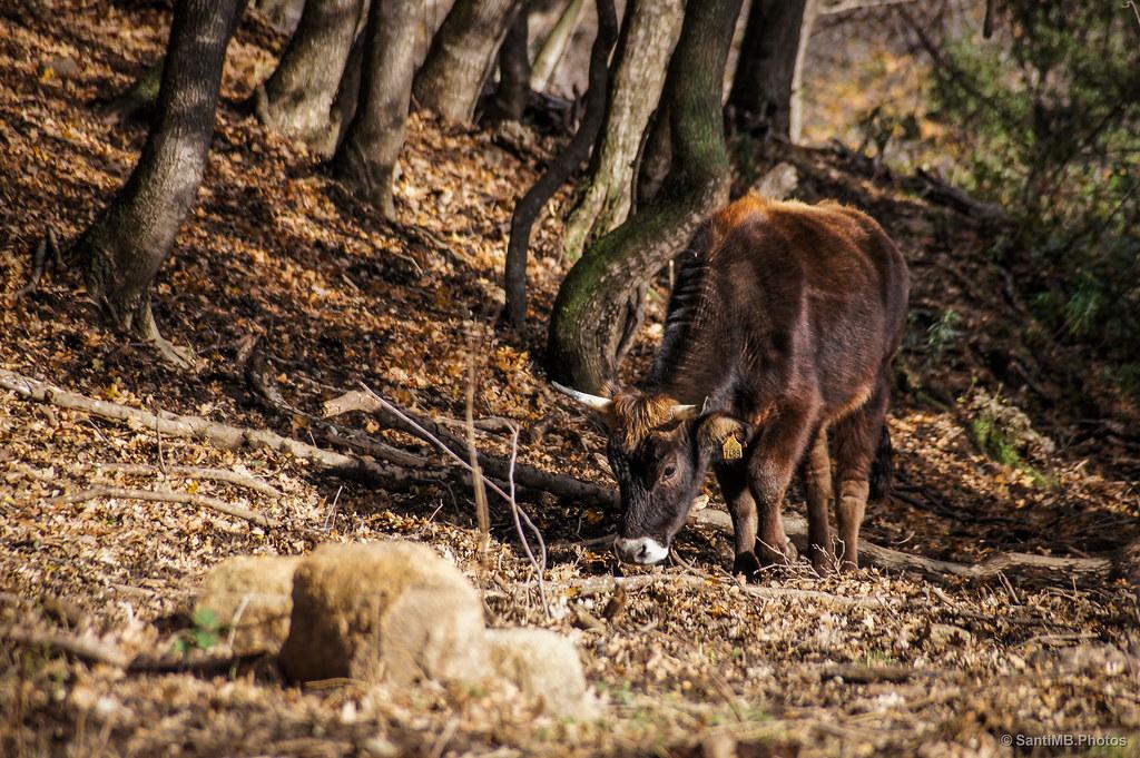 La vaca del bosque