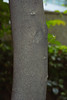 dao-57724 (mutolisp) Tags: world plants taiwan bark taipei 台北 angiospermae 行道樹 台北縣 magnoliidae angiosperms 樹皮 thymelaeaceae magnoliids spermatophyta malvales 瑞香科 臺北縣 aquilaria 被子植物 equisetopsida 板橋區 特徵 aquilariasinensis 新北市 錦葵目 沉香屬 newtaipeicity apgiii 牙香樹 banqiaodistrict 木蘭類植物 種子植物 土沉香瑞香科 白木香