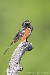 AZ: Spotted Towhee (phil.jeffrey) Tags: arizona bird nature wildlife az northamerica avian spottedtowhee pipilomaculatus passeriformes carrcanyon huachucamountains comfortspring buntingsandnewworldsparrows madreanskyislands
