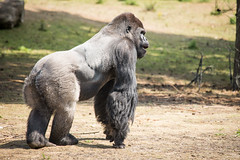 2015-07-16-12h39m23.BL7R7802 (A.J. Haverkamp) Tags: netherlands zoo gorilla thenetherlands beeksebergen noordbrabant dierentuin hilvarenbeek safariparkbeeksebergen uzuri westelijkelaaglandgorilla canonef100400mmf4556lisusmlens pobapeldoornthenetherlands httpwwwsafariparknl dob19061994