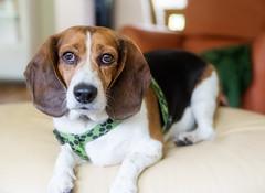sunday:: week 27 ~ basil's birthday (cathy sly) Tags: beagle basil 365 hisbirthday